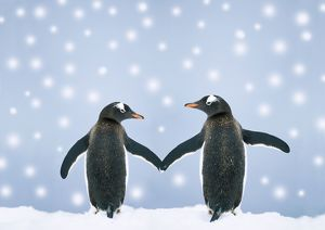 Gentoo Penguin - pair 'holding hands' in the snow
