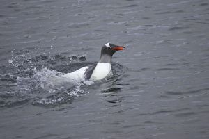 Gentoo Penguin - Washing in shallow water