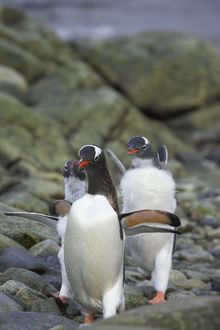 Gentoo Penguin - young chasing adult for food
