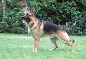 German Shepherd / Alsatian Dog