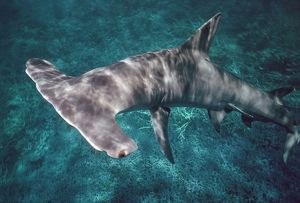 Great Hammerhead SHARK