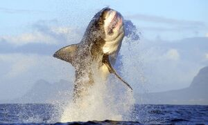 Great White Shark - Breaching