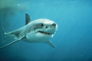 Great White / White / White Pointer SHARK