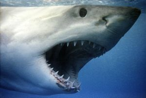 Great White Shark - With mouth wide open