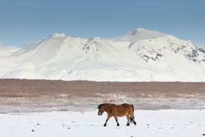 Icelandic Horse adults in winter landscape