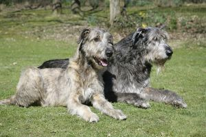 Irish Wolfhounds lying in the garden.