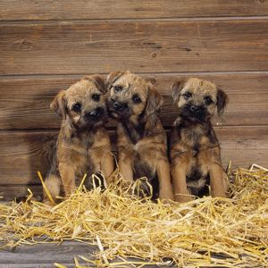 JD-15725 Border Terrier Dog - puppies in barn