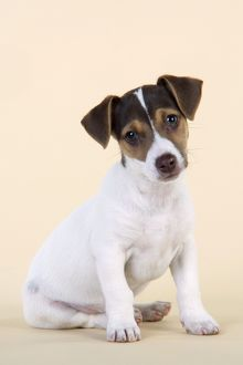 JD-20223-C Dog - Jack Russell Terrier puppy