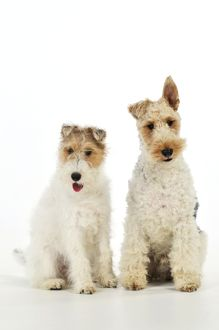 JD-20620 Dog. Wire Fox Terriers