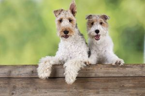 JD-20625 Dog. Wire Fox Terriers looking over wooden fence