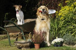 JD-20976 DOG. Jack russell terrier and golden retreiver helping in the garden