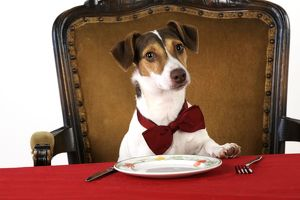 JD-21271 DOG. Jack russell terrier wearing bow tie sitting at table