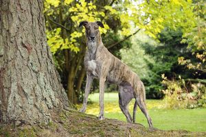 JD-21322 DOG. Greyhound standing on tree root