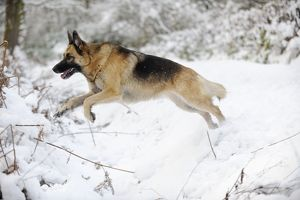JD-21356 DOG. German shepherd jumping over snow covered ditch