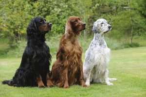JD-21613 DOG. Irish setter sitting between gordon setter and english setter