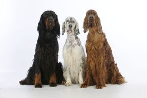 JD-21618 DOG. English setter sitting between gordon setter and irish setter