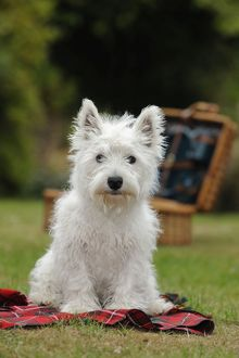 JD-22382 DOG. West highland white terrier puppy sitting with picnic basket on tartan blanket
