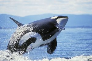 Killer / Orca Whale - breaching
