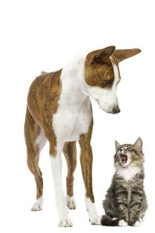 LA-7108 Dog - Basenji in studio with cat