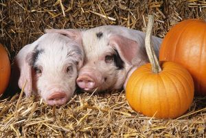 PIG - two Gloucester Old Spot PIGLETS with pumpkins