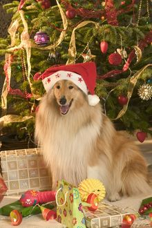 Rough Collie Dog - at Christmas wearing Santa hat sitting by presents