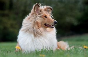 Rough Collie Dog - lying on grass