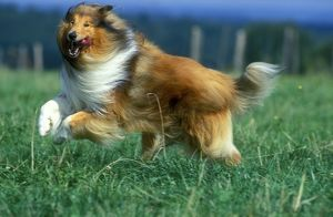 Rough Collie Dog - Running