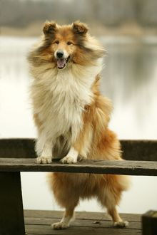 Rough Collie Dog - Standing on bench