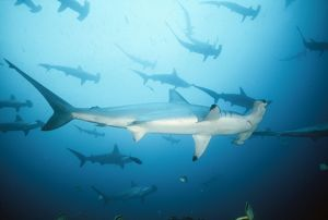 Scalloped Hammerhead SHARK - full-length, in group / school