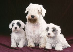 Sealyham Terrier - Dog and puppies sitting down