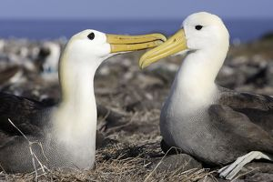 Waved Albatross - pair