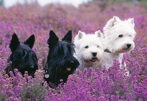West Highland White and Scottish Terriers in heather