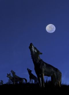 Wolves - Howling in moonlight