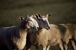 Blue faced Leicester sheep, Pennines, Eden Valley, Cumbria, England, United Kingdom