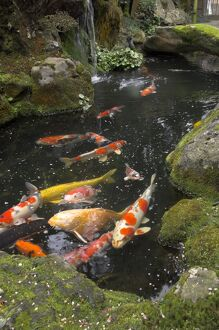 Colourful carp in typical Japanese garden pond