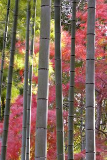Colourful maples in autumn colours viewed from a bamboo grove