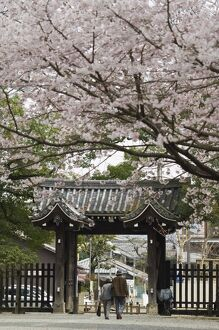 Old couple walking through gate under spring cherry tree blossom
