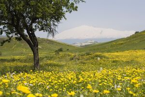 Spring meadow with snow covered Mount Etna in distance