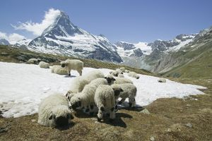 Sheep cooling down on the snow infront of the Matterhorn above Zermatt Switzerland
