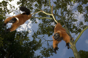 A red ruffed lemur, Varecia variegata rubra, is now only found in the wild in remaining
