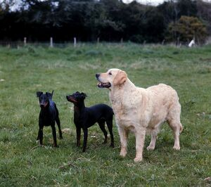 RETRIEVER (GOLDEN) and Manchester Terriers