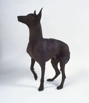 A dark-colored Mexican hairless dog stands with its ears pricked up and one paw raised.