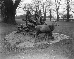 Bushey Park, United Kingdom. A deer surveys the wondrous scene as a result of the gale
