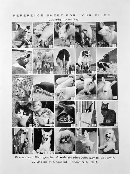 Photograph of promotional reference sheet of unusual photographs of animals taken by John Gay. November 1970. pig, cow, cattle, lamb