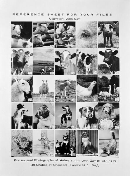 Photograph of promotional reference sheet of unusual photographs of animals taken by John Gay. November 1970. pig, cow, cattle, calf, lamb, chicken, swan
