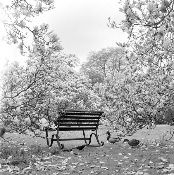 KEW GARDENS, Greater London. A metal bench seat surrounded by magnolias in bloom at Kew Gardens, two ducks and a blackbird by the bench. Photograph by John Gay. Date range: Jan 1962 - May 1964