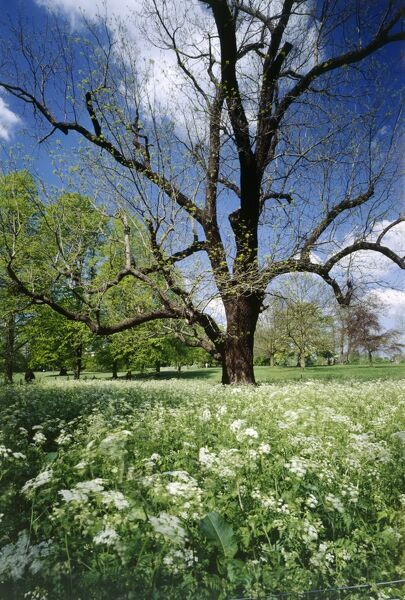 MARBLE HILL PARKLAND, Twickenham, London. View of Black Walnut tree (Juglans nigra) with Cow Parsley (Anthriscus sylvestris) in the foreground