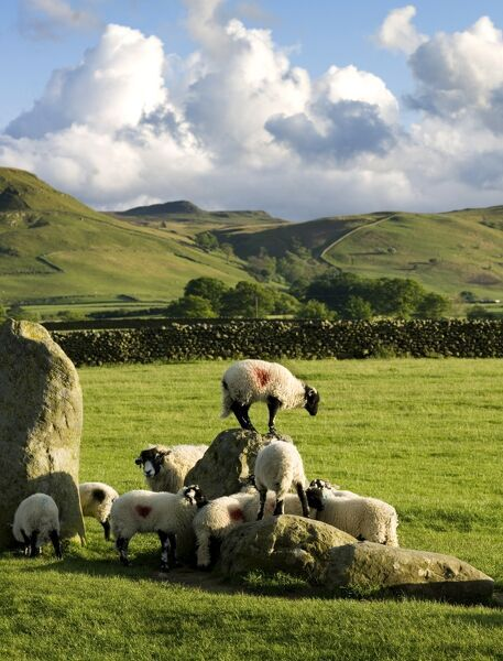 CASTLERIGG STONE CIRCLE, Cumbria. Sheep climbing on the historic standing stones