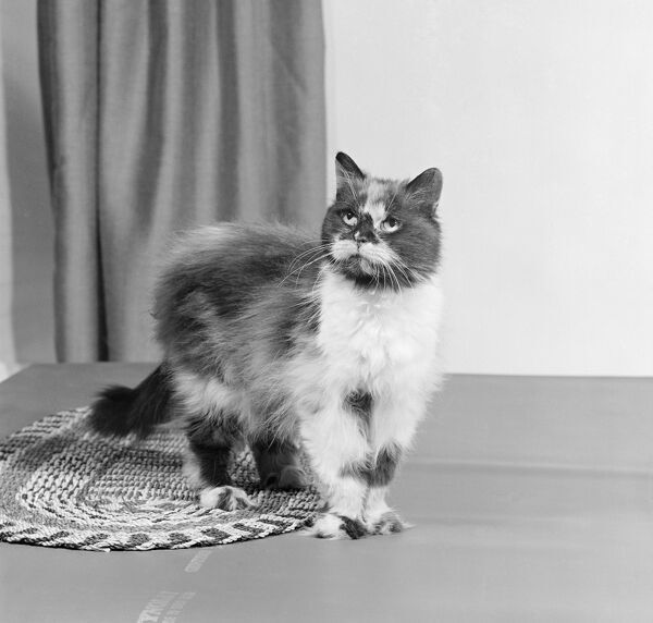 A long haired tortoiseshell cat standing on a mat looking up. Photographed by John Gay in 1970