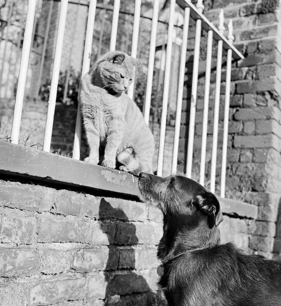 A cat sitting next to railings on a wall, looks down at a dog which looks back up at the cat. Photgraphed by John Gay, late 1950's, early 1960's